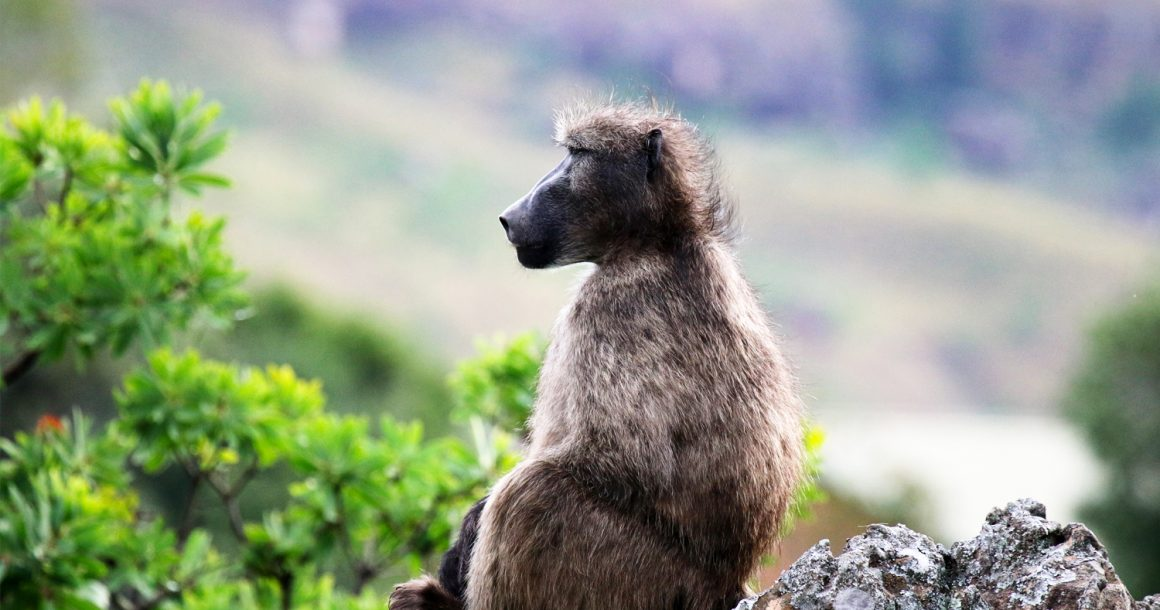 baboon in the drakensburg