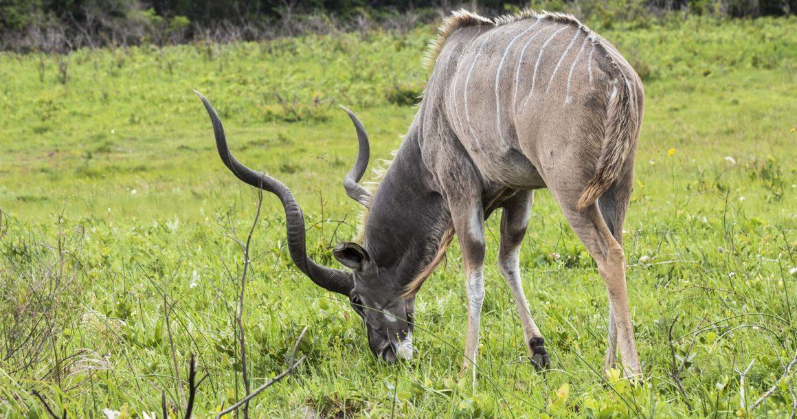 kudu at St Lucia